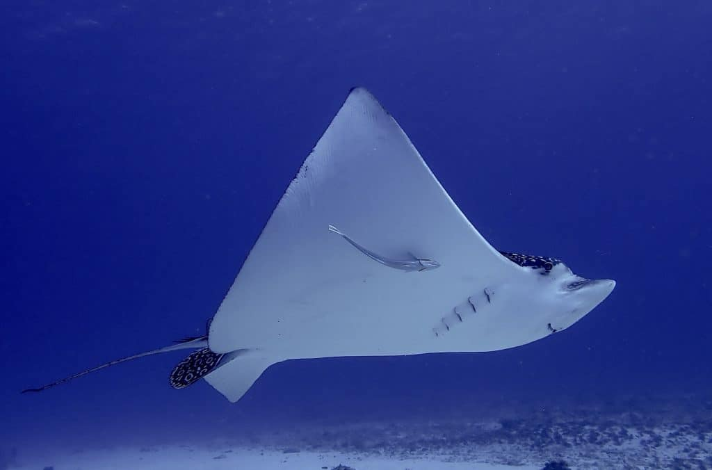 Eagle ray underwater in Cozumel