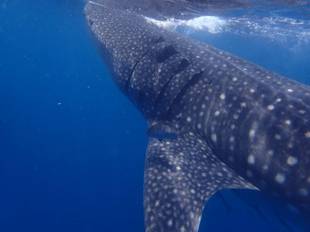 Whale shark ascending to surface