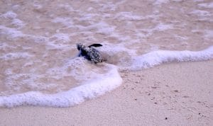 tiny hatchling green turtle in surf