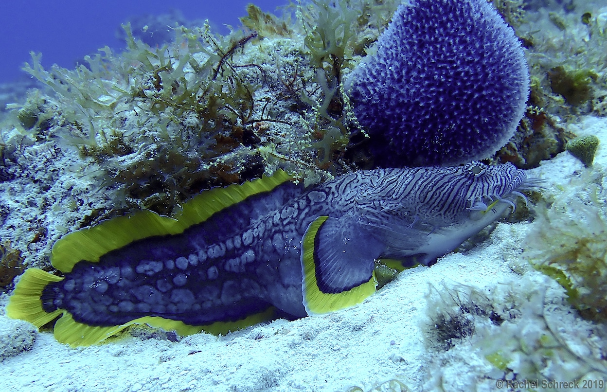 Large adult splendid toadfish out and exposed on Cozumel reef