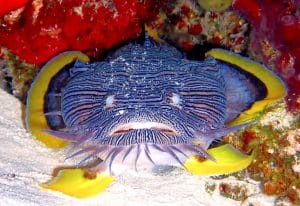 Diving with Cozumel's Splendid Toadfish – The One and Only