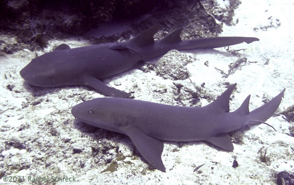 Pair of nurse sharks at rest along the coral reef