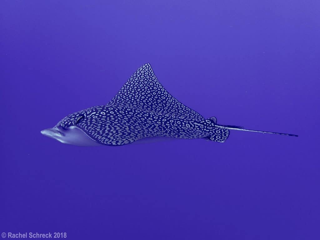 spotted eagle ray gliding through blue Cozumel water