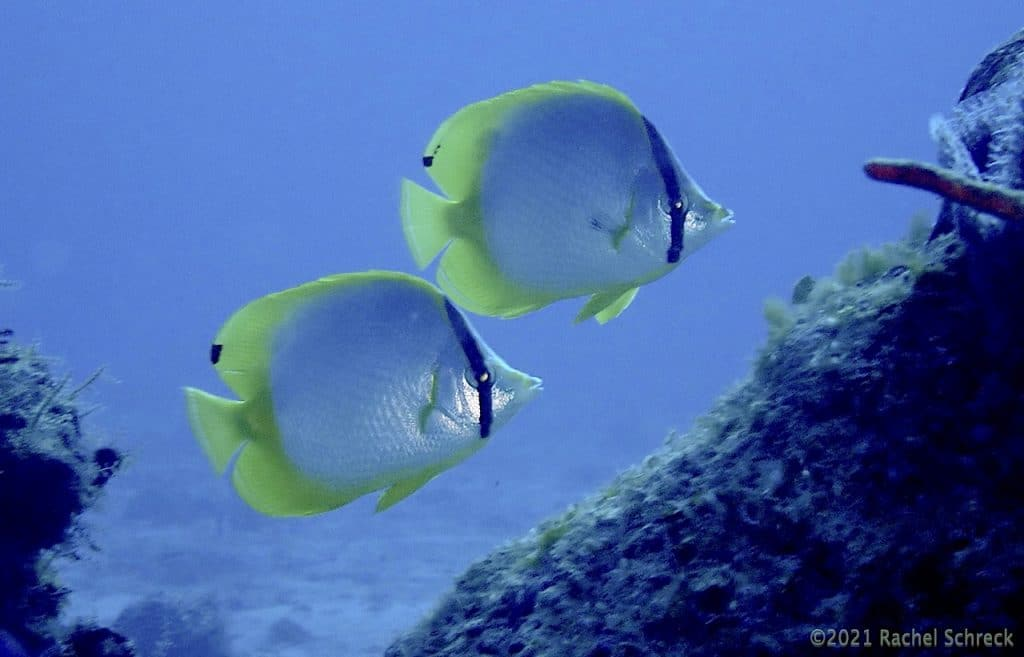 Pair of spotfin butterflyfish in Cozumel