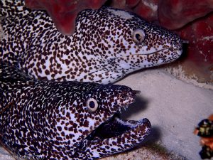 spotted moray eel couple 1