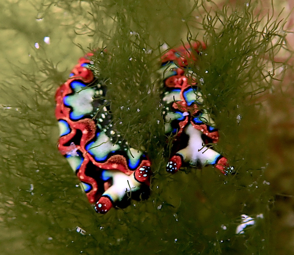 Elysia sea slugs pair side by side
