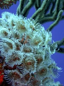 Cluster of social fan worm colony on coral reef