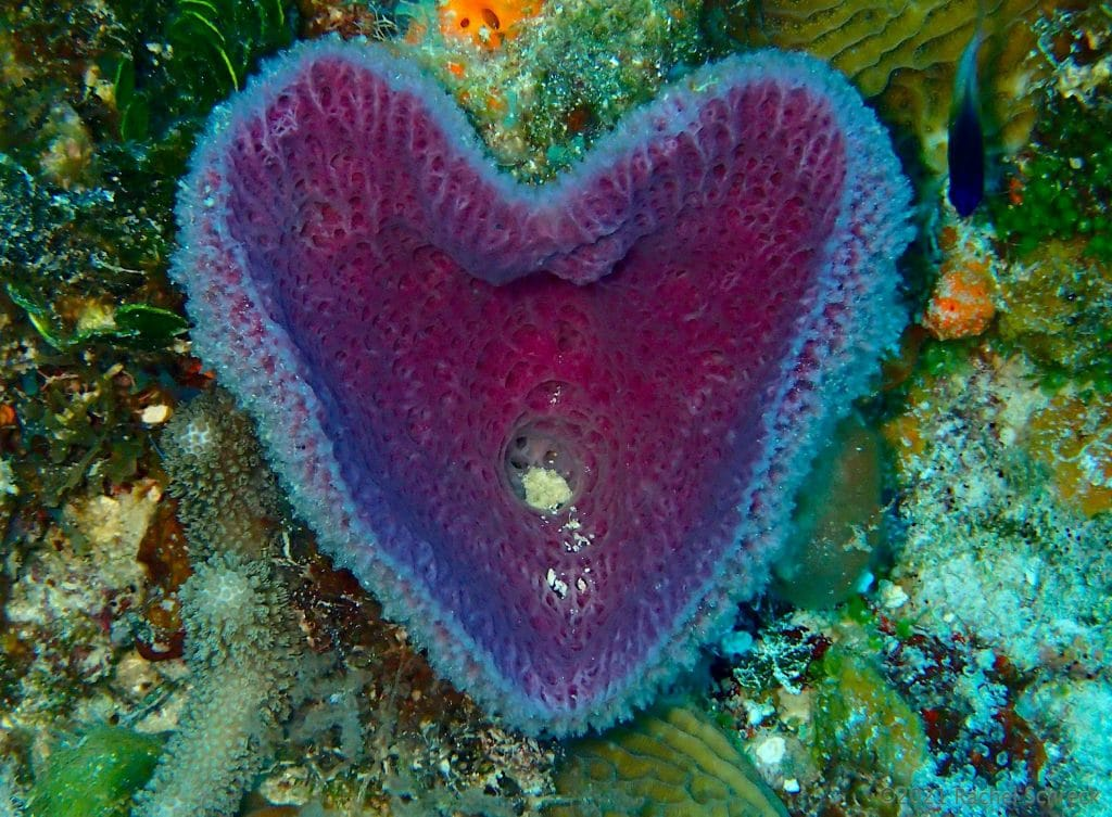 Heart shaped purple vase sponge on reef