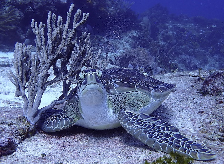 green turtle under soft gorgonian coral branches