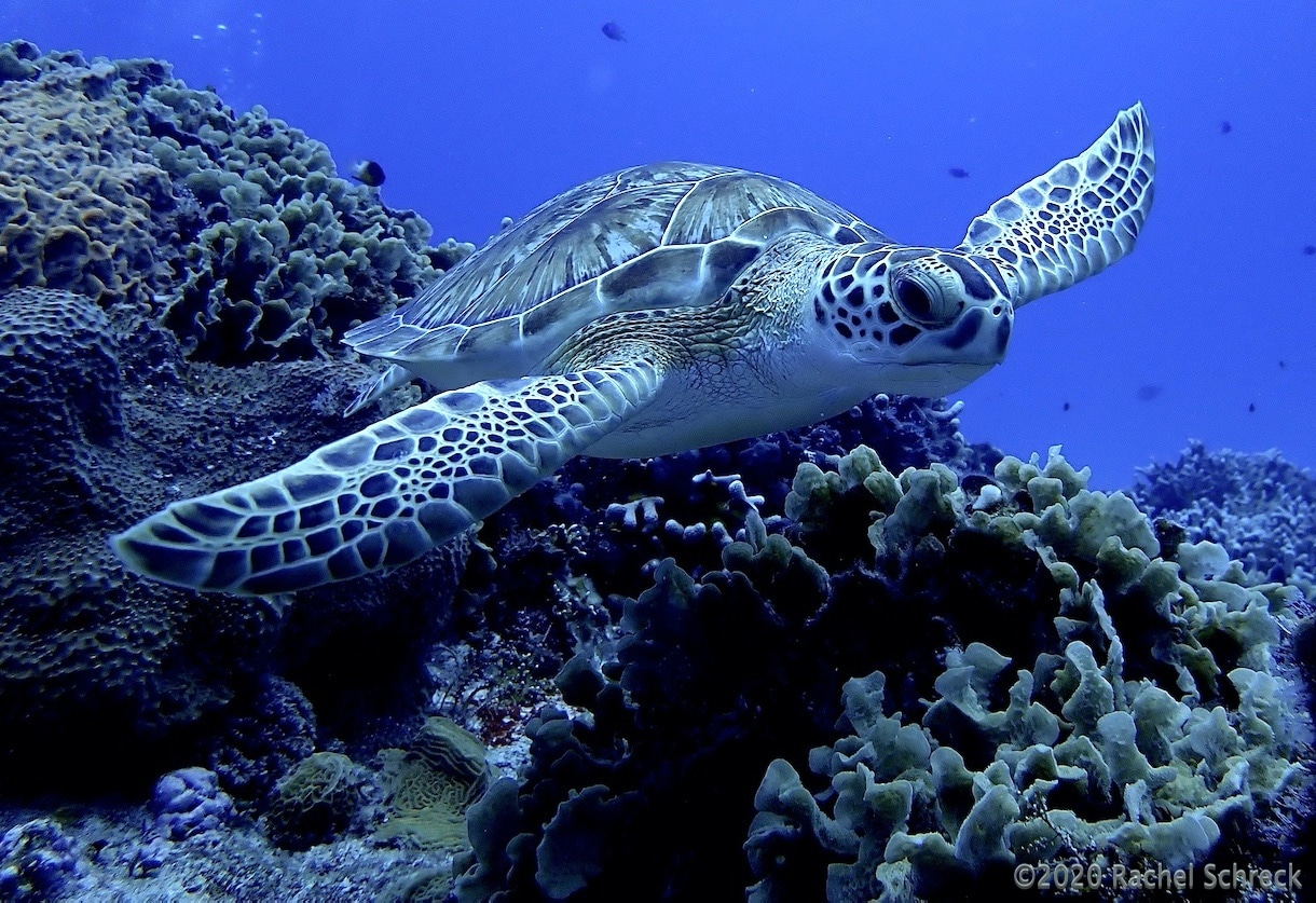 You are currently viewing Sea Turtles in Cozumel: Your Full Guide