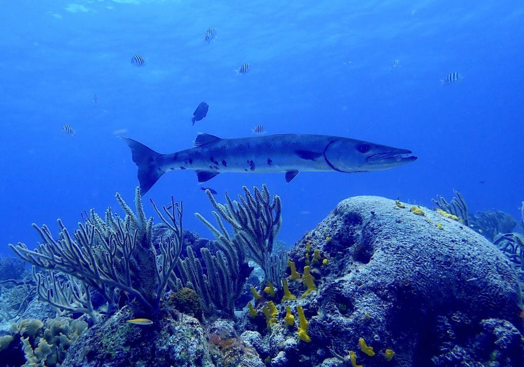 large barracuda and smaller tropical reef fish hover over healthy stretch of various corals