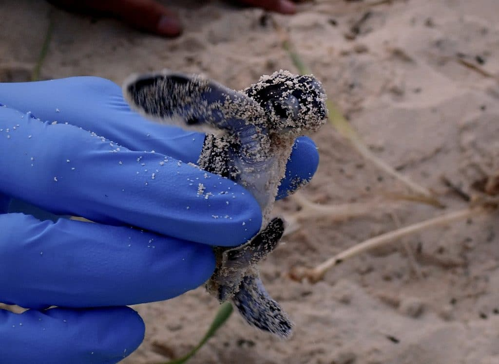 Ecology department staff uses gloved hand to help one hatchling get back on the path to the ocean