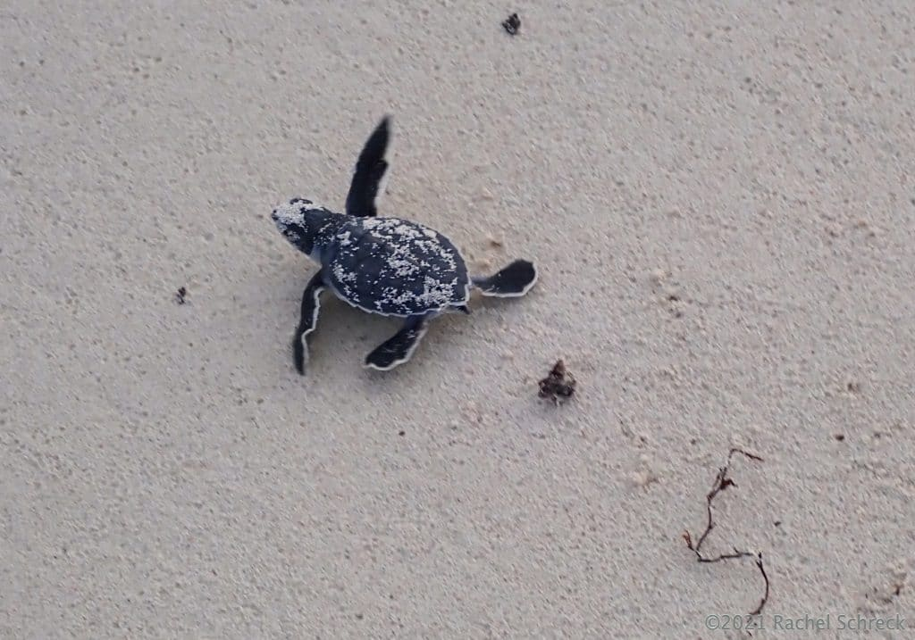 baby green turtle hatchling emerging from nest