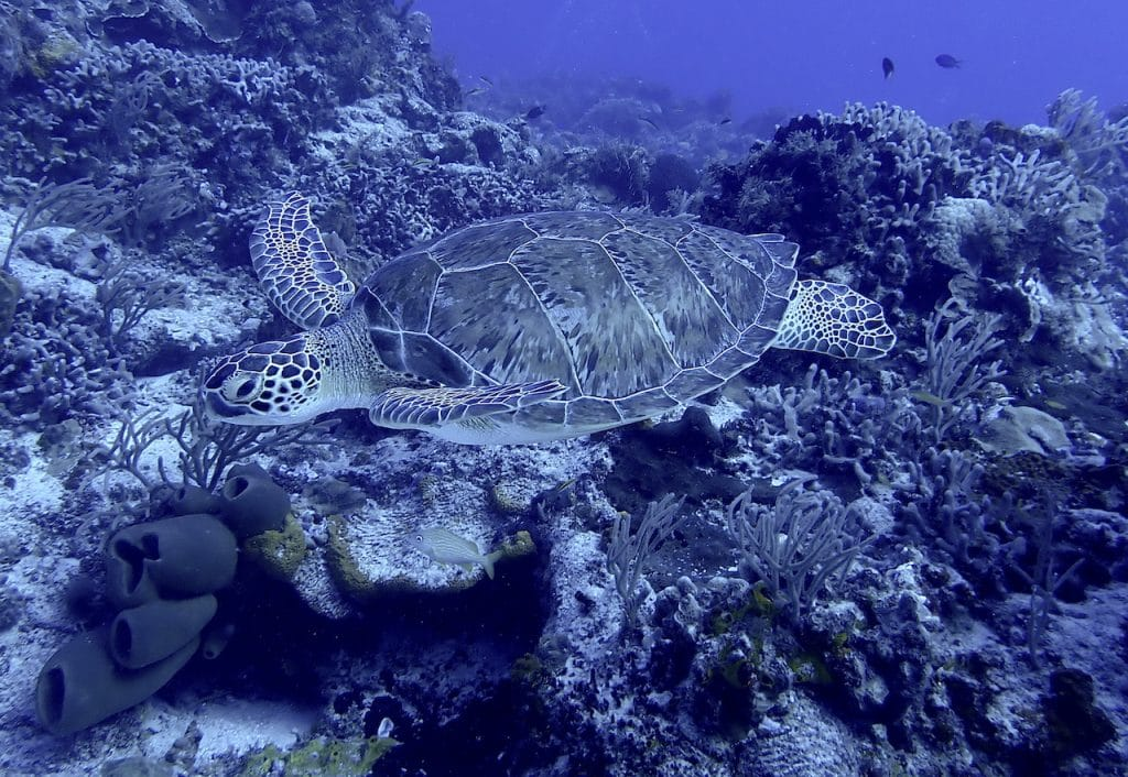 Small sea turtle with pretty shell swimming above coral reef