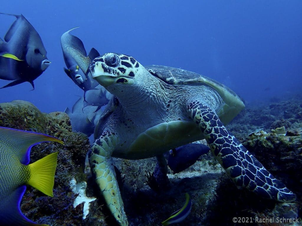 hawksbill turtle eating surrounded by reef fish looking for leftover scraps
