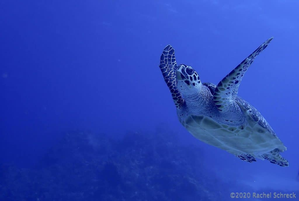 small loggerhead swimming and in blue water column