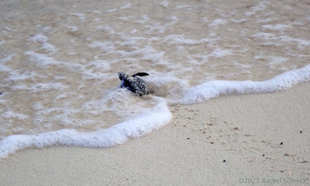 One green turtle hatchling entering the open ocean to start its life journey