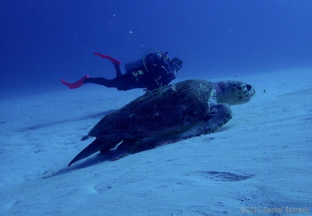 large loggerhead in foreground and man in back, turtle looks huge