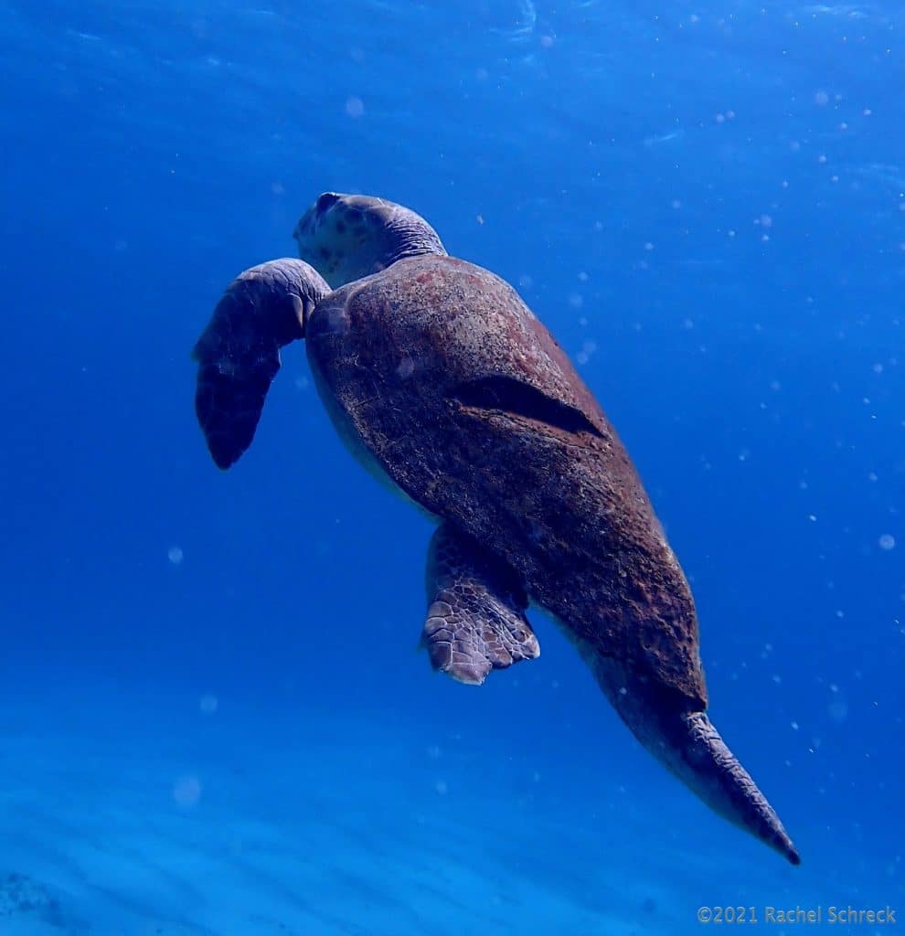 loggerhead turtle ascending with huge gash in back carapace shell
