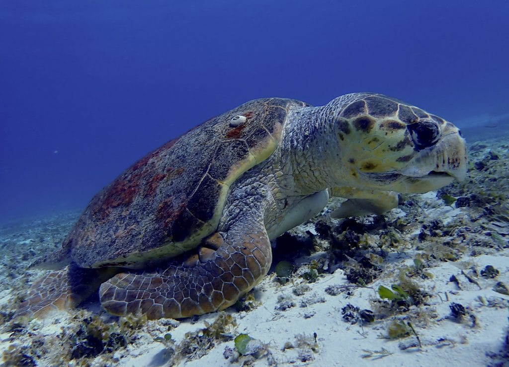 Loggerhead sea turtle in Cozumel with barnacle growing on shell