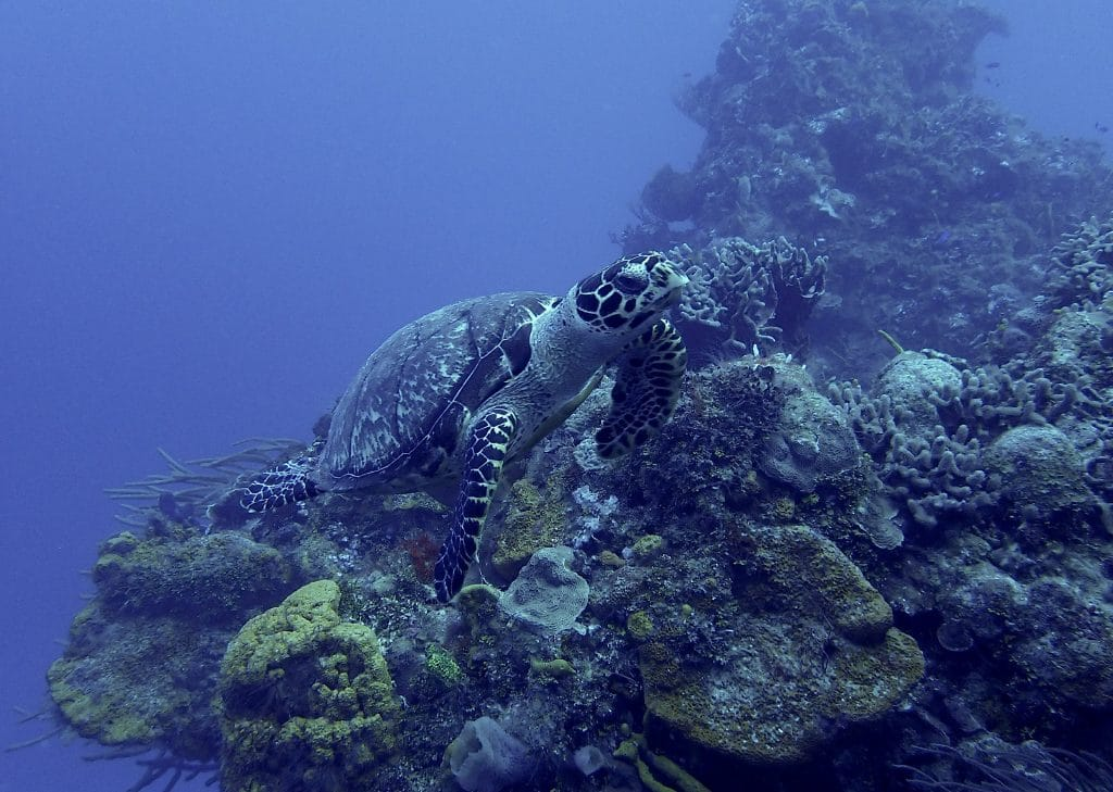 small hawksbill turtle on Cozumel's Punta Sur reef section
