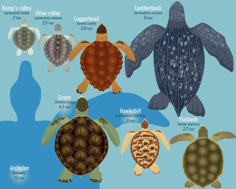 color illustration of types and size scale of marine turtles
