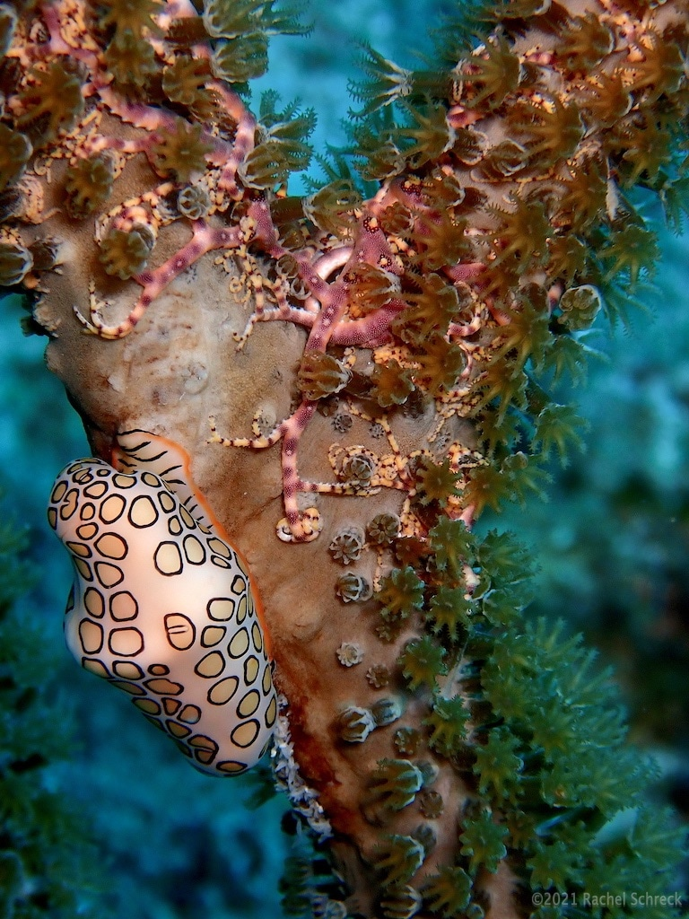 Pretty purple basket star arms around coral and flamingo tongue sea snail also on coral.