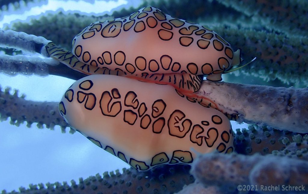Pair of flamingo tongue sea snails on coral