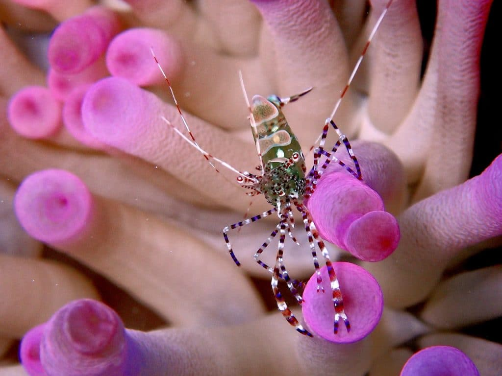 spotted cleaner shrimp in hot pink anemone