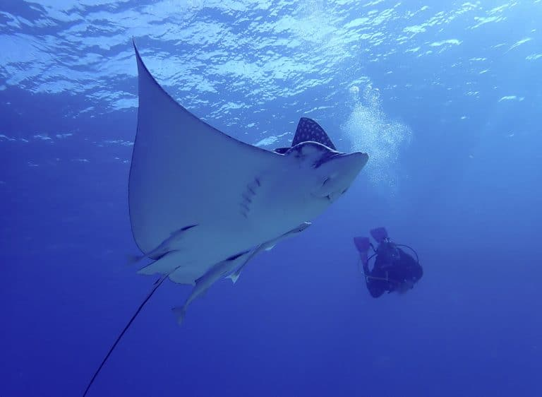 Spotted eagle ray in Cozumel with diver, sunny clear water