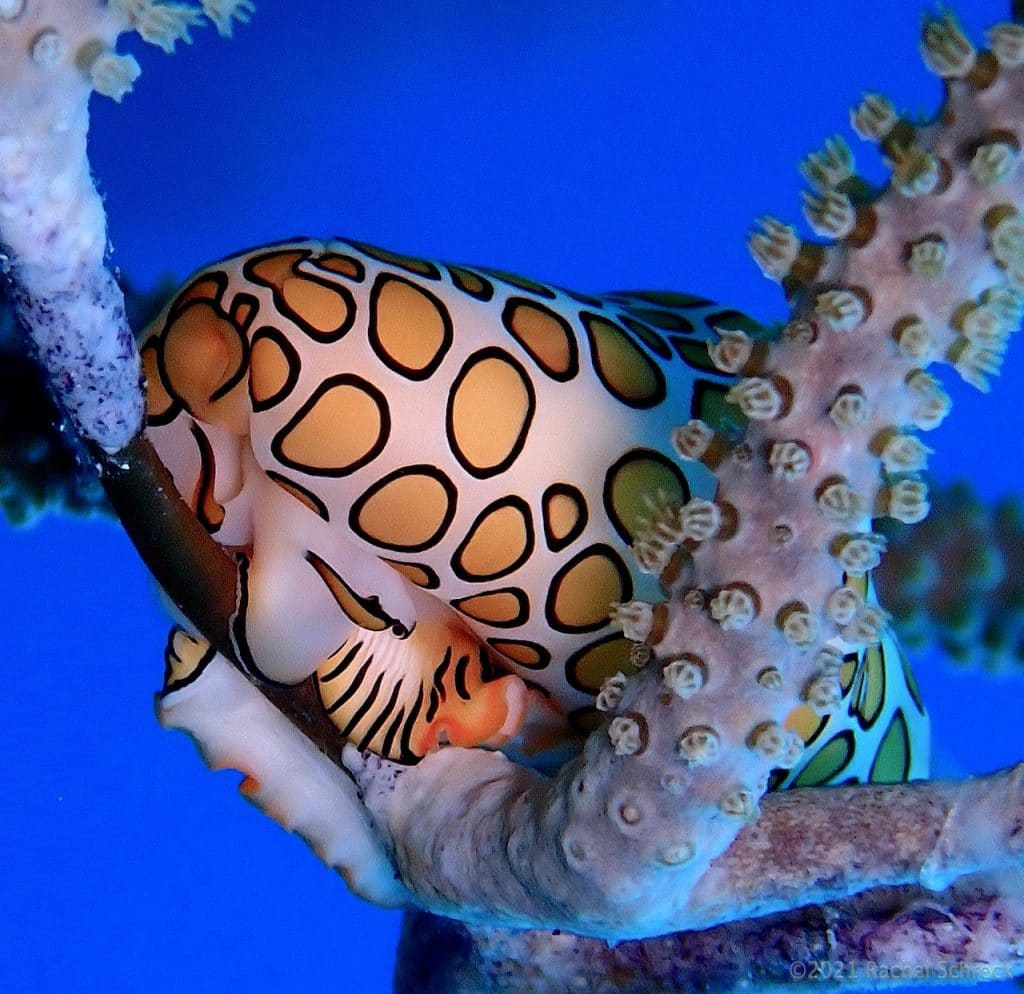 flamingo tongue sea snail with bright yellow spots and black stripes