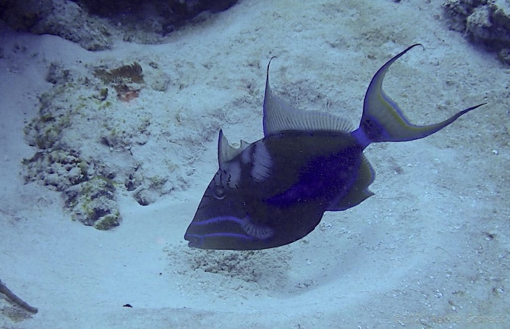 Queen triggerfish hovering over round depression in the sand