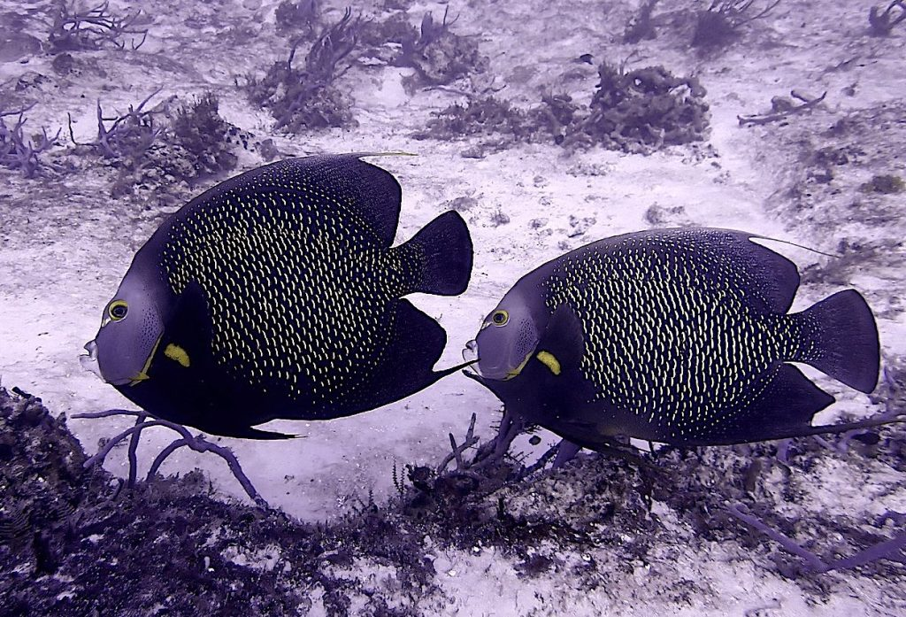 Pair of adult french angelfish