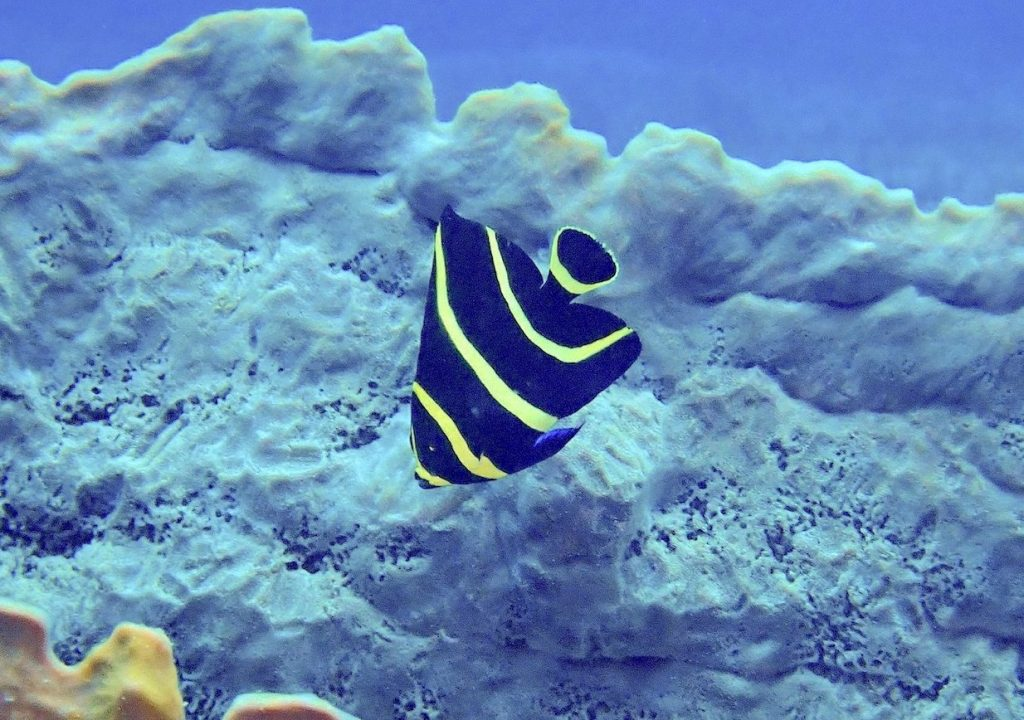 Juvenile french angelfish with dark body and bright yellow vertical stripes