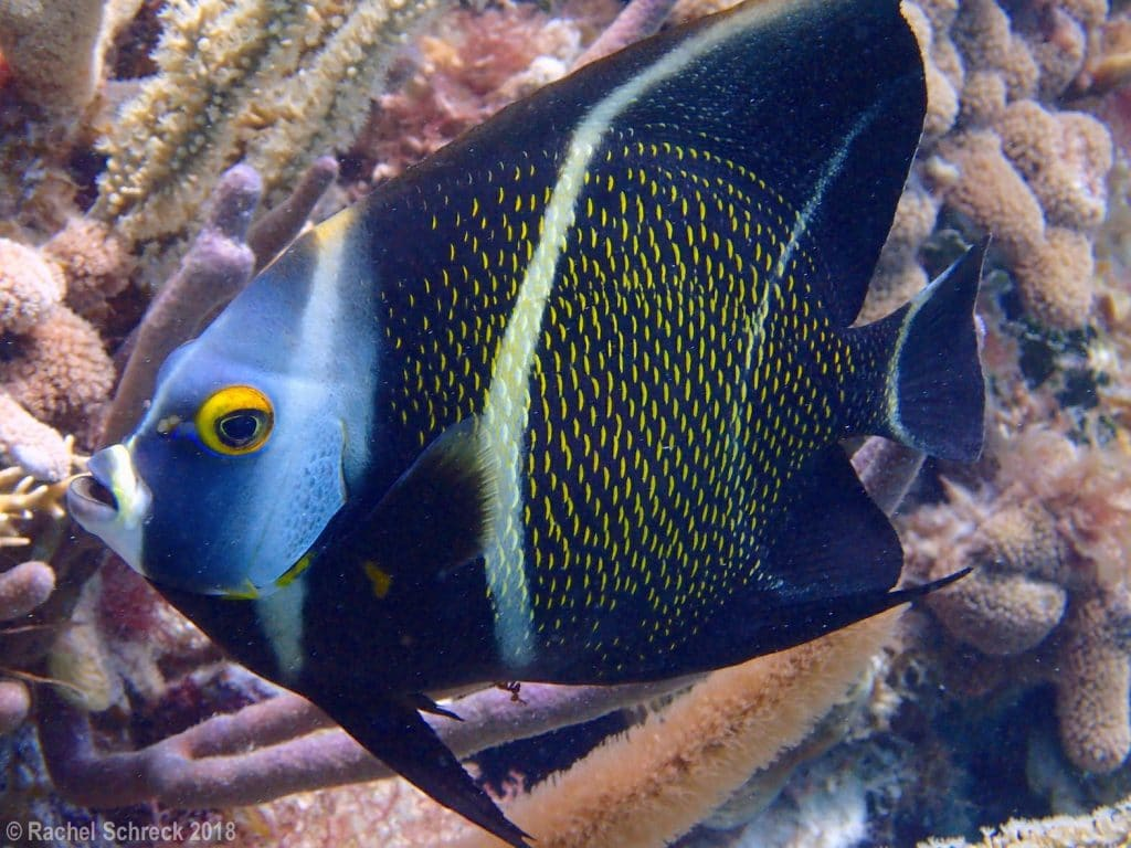 Intermediate young french angelfish with fading stripes and new yellow edged scales