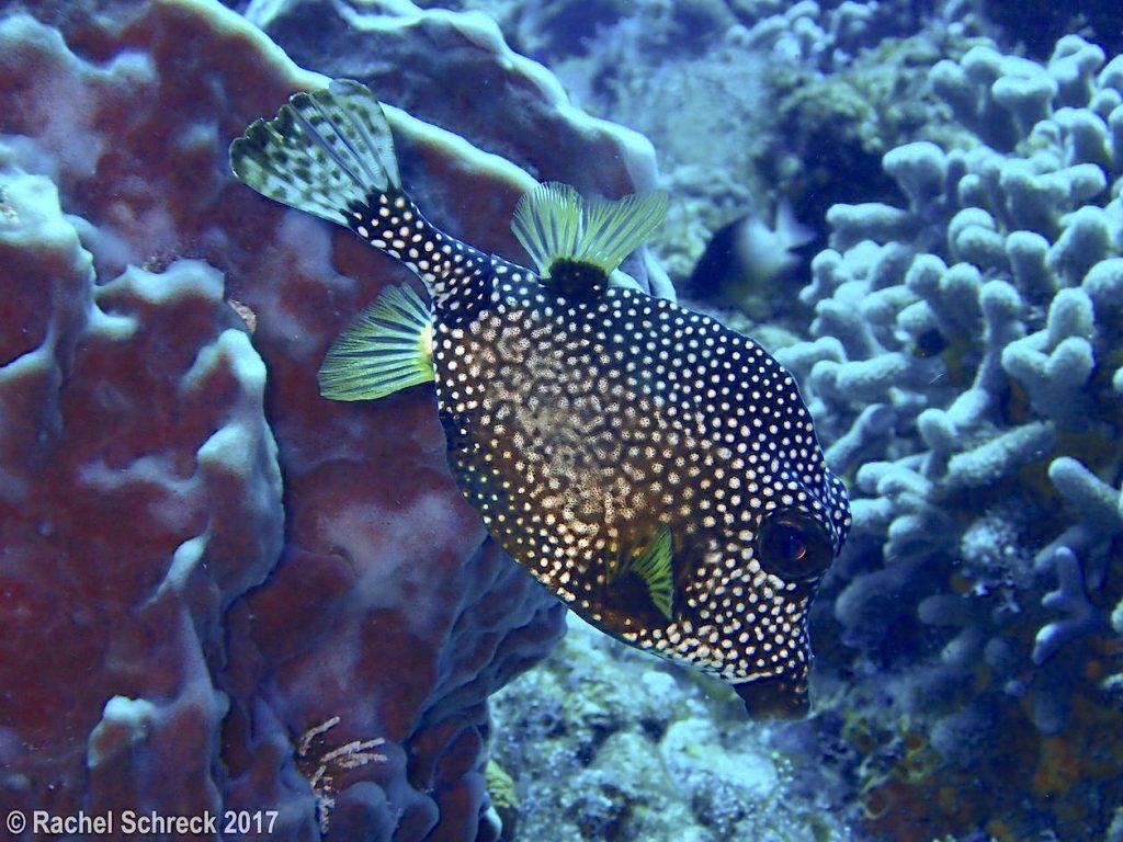 Adult smooth trunkfish with fanned out tail fin