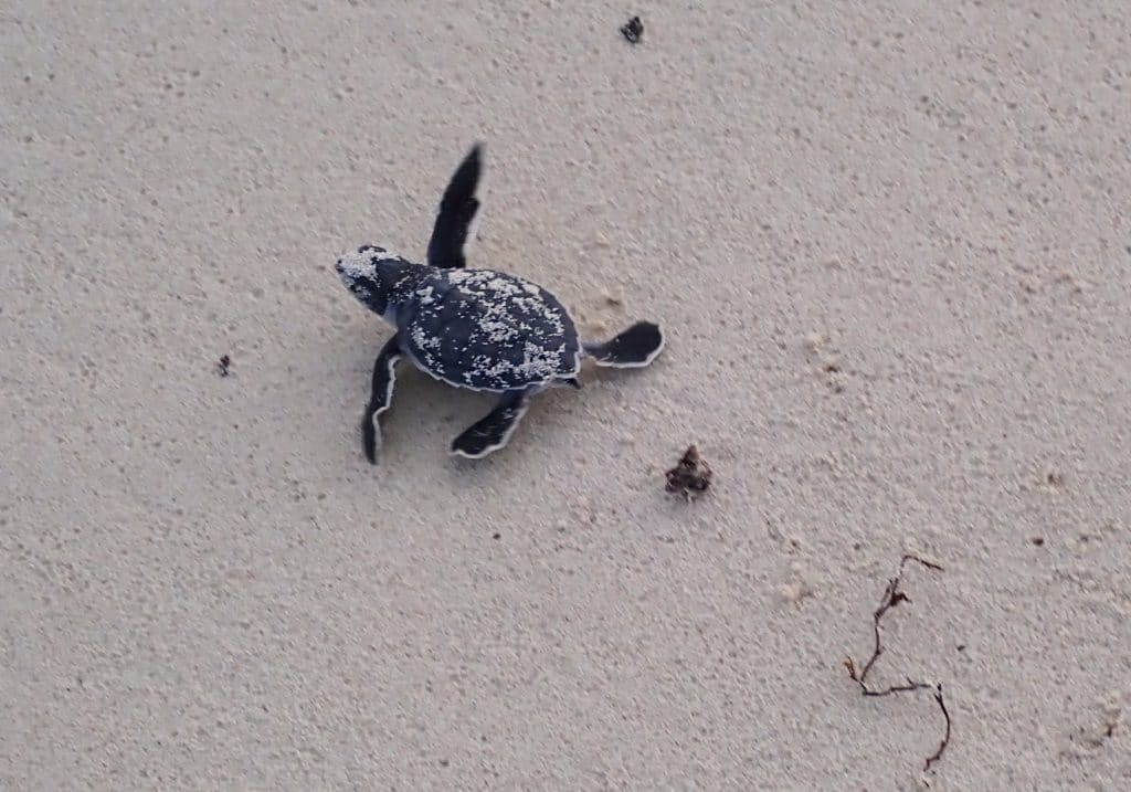 Newly hatched green sea turtle toddler