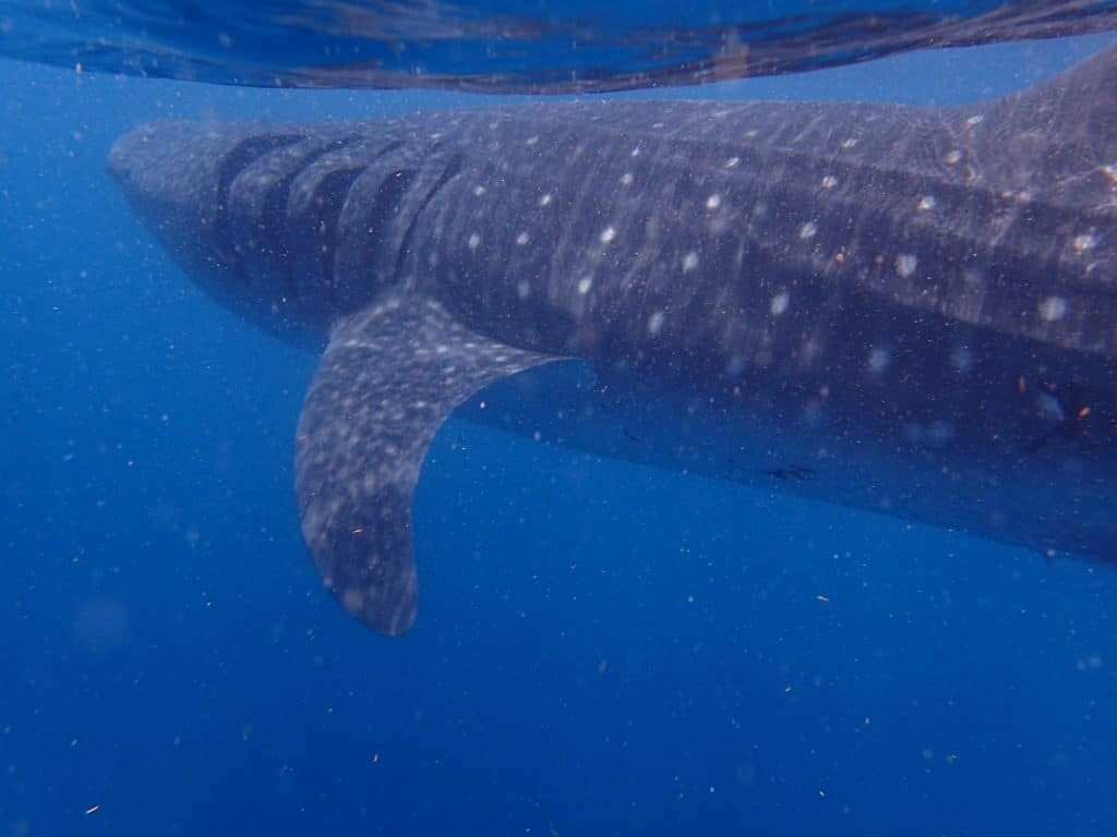 Whale shark in blue water, cloudy with plankton off the coast of Mexico's Isla Mujeres.
