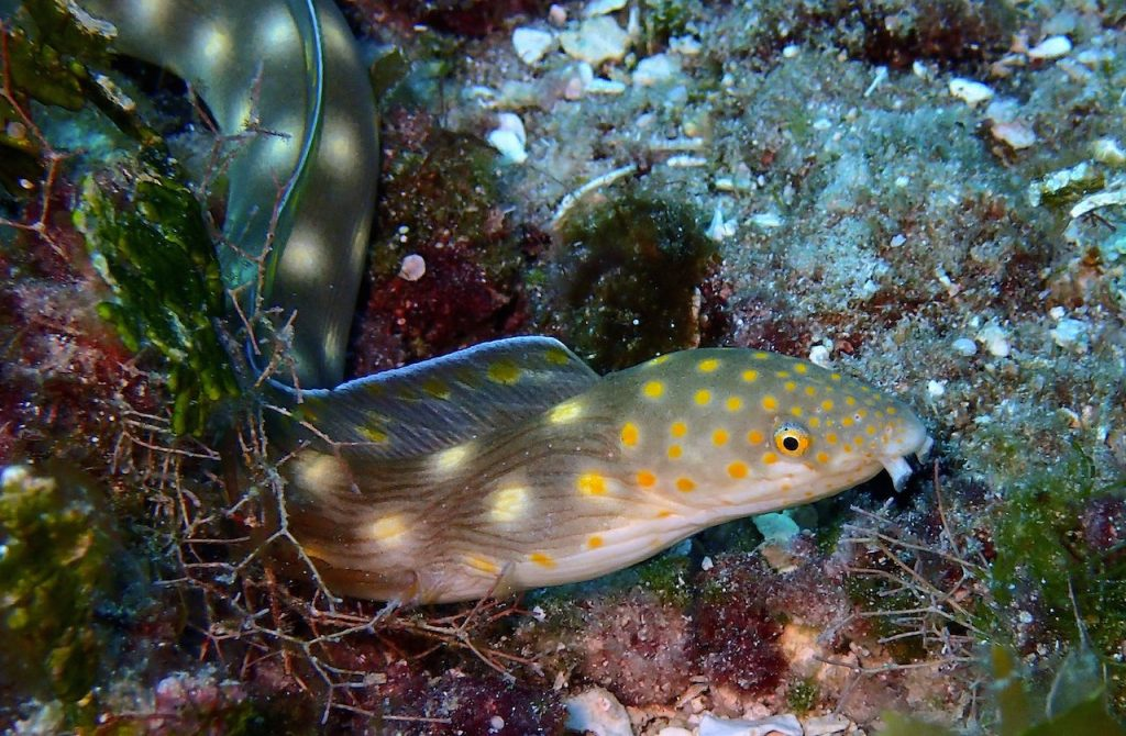 Shaptail eel with yellow spots on bottom of shallow reef area in Cozumel.