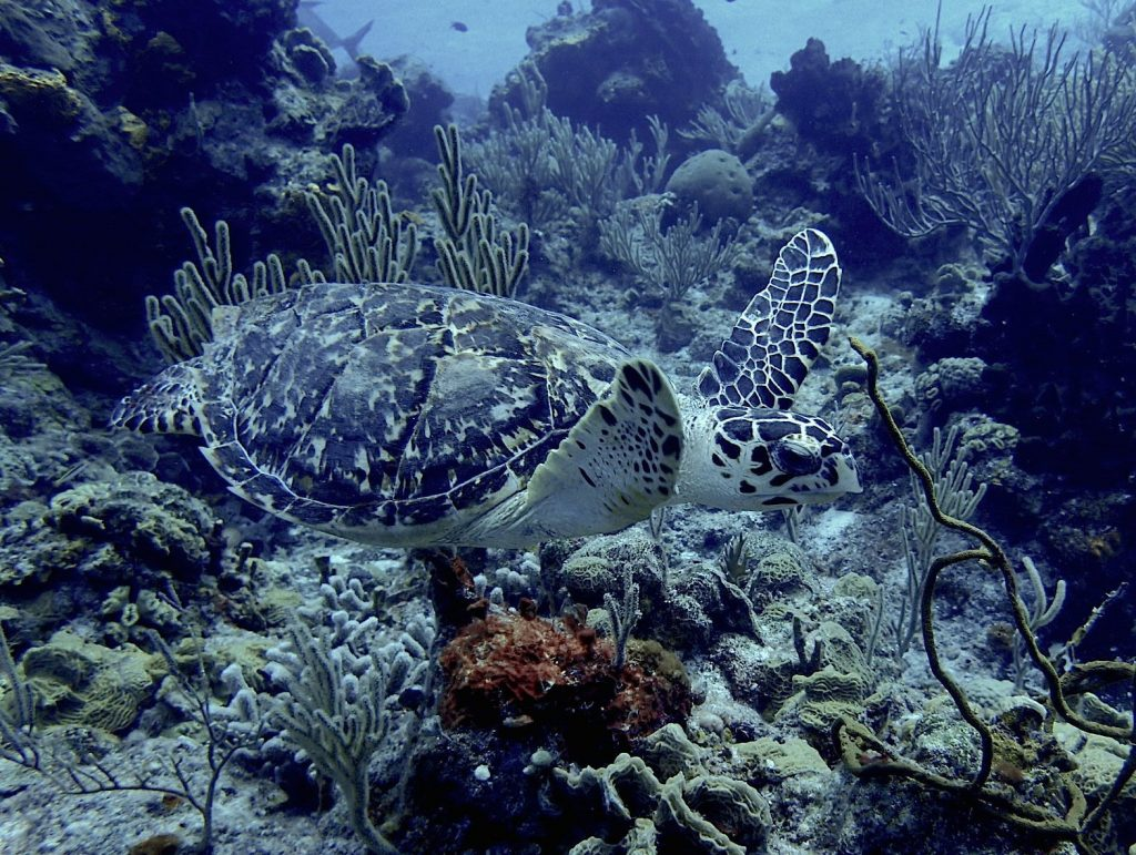 Small hawksbill turtle swimming over a shallow coral reef in Cozumel.