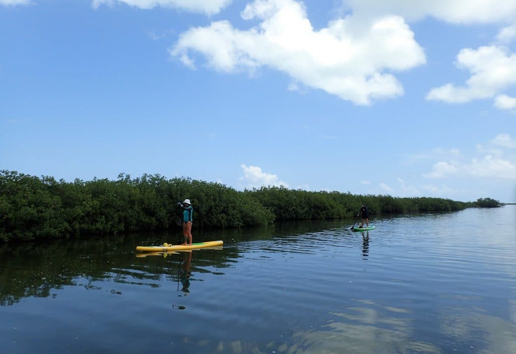 Two adults using stand up paddle boards in calm mangrove water.
