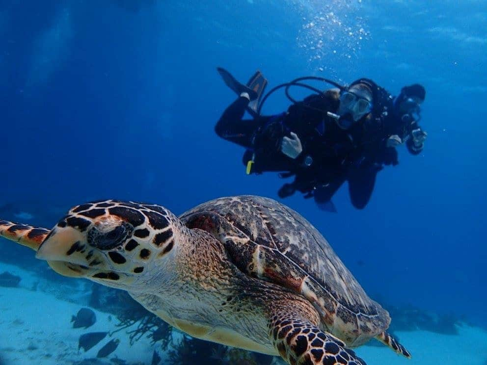 Scuba divers hovering over hawksbill turtle in blue water of Cozumel.