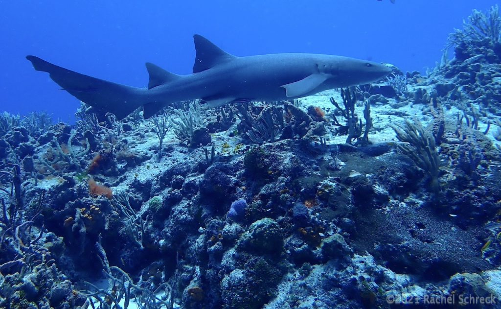 Small Atlantic nurse shark gliding over the coral reef on Cedral Pass reef in Cozumel.