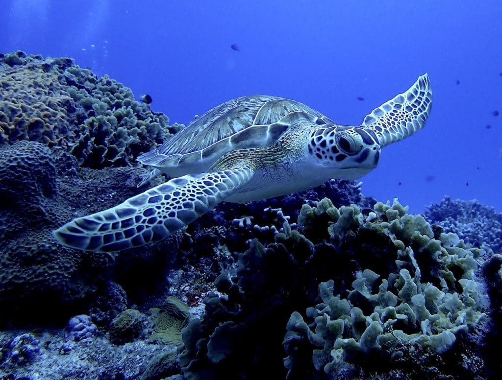 Green sea turtle gliding over Cozumel coral reef.