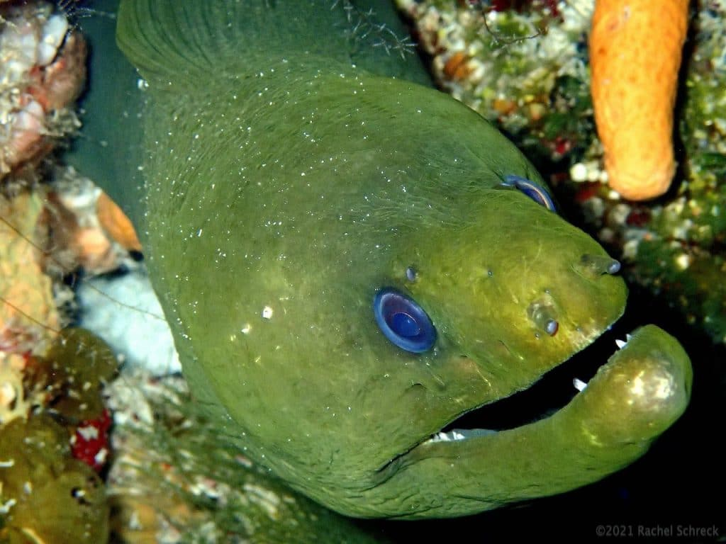 Bright green moray eel with blue eyes, looking up at the camera.