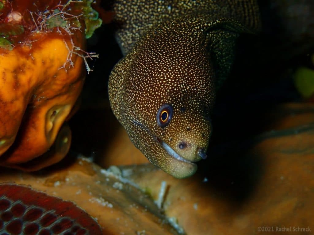 Pretty goldentail moray eel in coral backdrop in Cozumel.