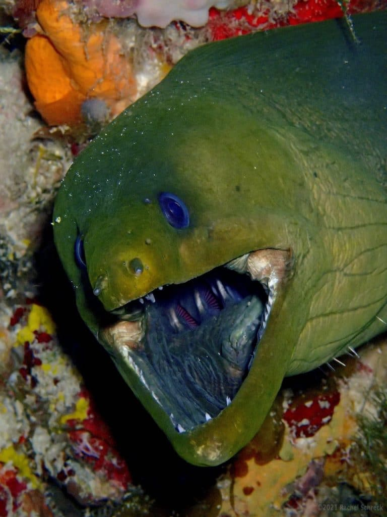 Green moray with mouth wide open so you can see it's second set of jaws in its throat.