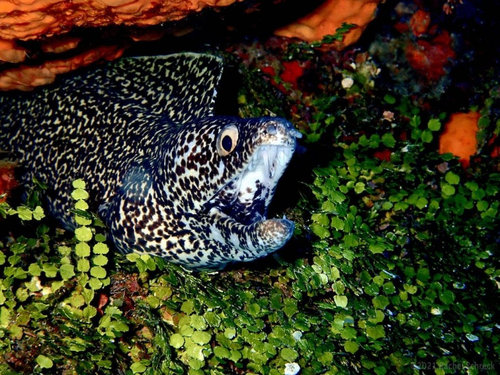 Pretty spotted moray eel with mouth wide open, in leafy green area of coral reef.