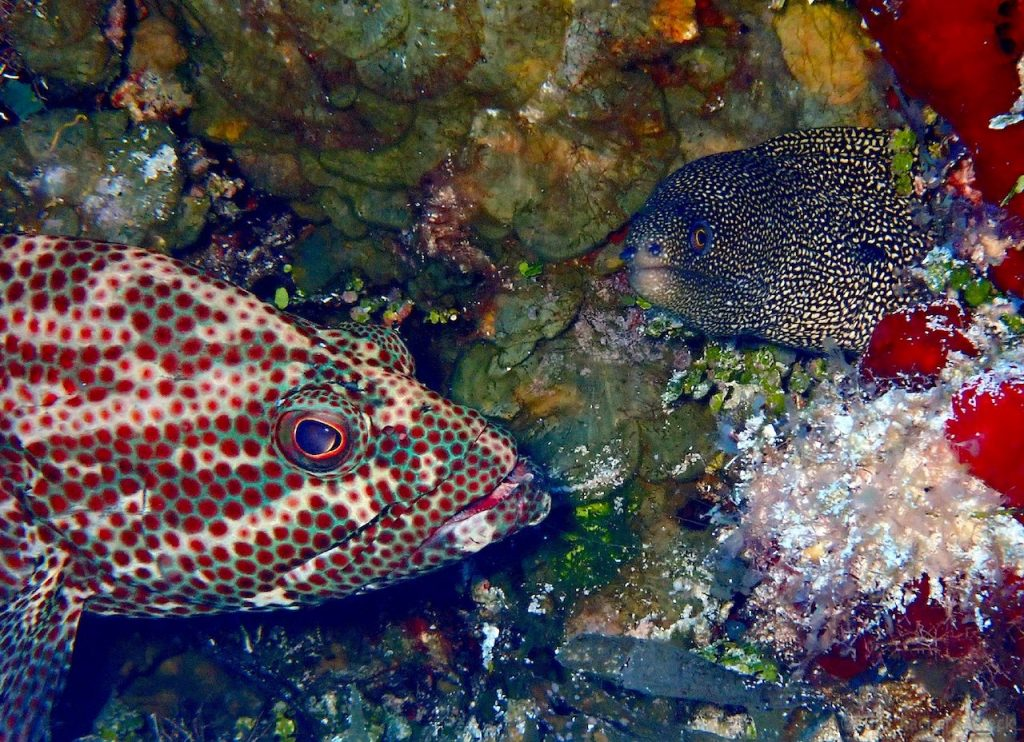Small goldentail moray eel with small grouper fish on Cozumel coral reef.