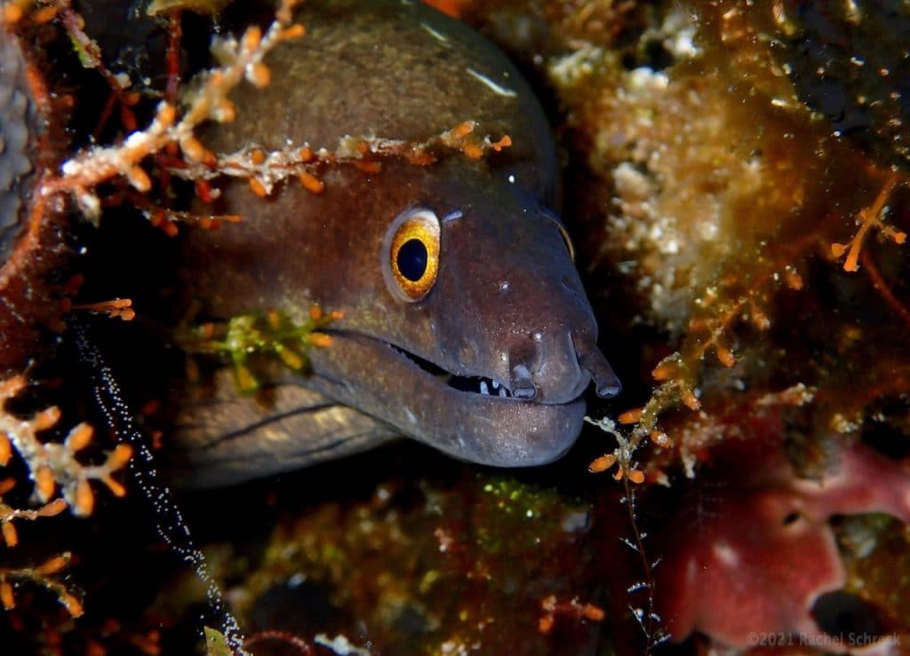 Purplemouth eel with amber-yellow eyes living in coral reef.